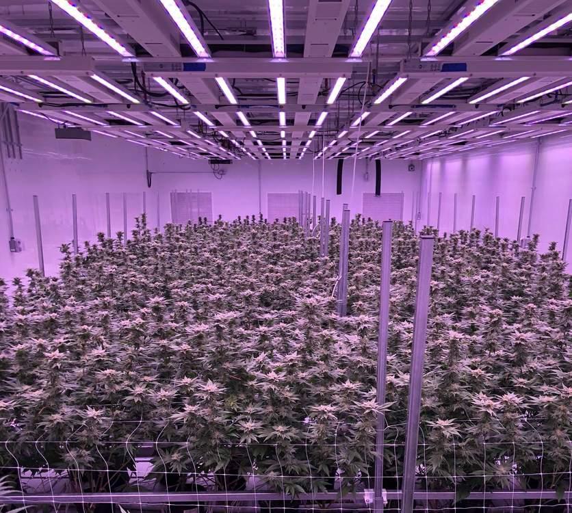Understanding Medical Marijuana Use & Drug Tests
