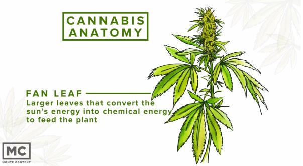 Cannabis Anatomy - Revolutionary Clinics
